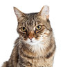 Portrait Tabby Cat With Tipped Ear Stock Photo - 73980920