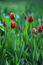 Spring Tulips Royalty Free Stock Photography - 748587