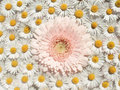 Floating Pink Gerbera Stock Photography - 749732