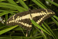 Giant Swallowtail Butterfly Stock Photos - 7405313