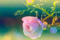 A Flower Of Wild Rose Is On A Bush In A Garden Stock Image - 74056981