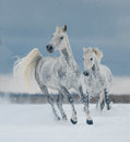 Two White Horses Running Free In The Snow Royalty Free Stock Image - 74110576