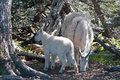 Baby Kid And Mother Nanny Mountain Goats Among The Trees On Hurricane Hill In Olympic National Park In Washington State Stock Photos - 74115103