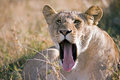 Portrait Of A Lioness With Open Mouth And Tongue Sticking Out Lying On The African Savannah, Stock Photos - 74144743