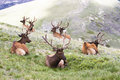 Bull Elk Resting In High Mountain Meadow Royalty Free Stock Image - 74159446