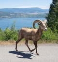 Big Horn Sheep Stock Photo - 74162050