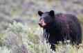 Female American Black Bear Ursus Americanus In Yellowstone National Park In Wyoming Royalty Free Stock Photo - 74224985