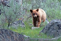 Cinnamon Brown Baby Cub American Black Bear Ursus Americanus In Yellowstone National Park In Wyoming Stock Photography - 74226372