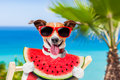 Dog On Hammock And Watermelon Stock Photography - 74238702