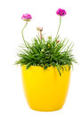 Potted Pink Armeria Flower Royalty Free Stock Photography - 74345607