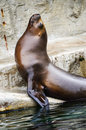 Sea Lion Stock Photos - 74346933