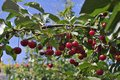 Morello Or Sour Riped Cherries On The Cherry Tree Stick With Leaves, In Time Of Harvest In The Summer In The Orchard. Stock Photo - 74349230