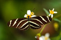 Zebra Longwing Butterfly (Heliconius Charithonia) Stock Photo - 74390220