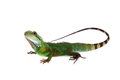 The Australian Water Dragon On White Background Royalty Free Stock Images - 74392599