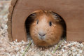 Portrait Of Red Guinea Pig In Her Wooden House Royalty Free Stock Photography - 74392807