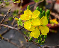 Ochna Integerrima Flowers Blooming At Spring In Southern Vietnam Stock Photography - 74397652