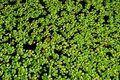 Water Hyacinth Plants Royalty Free Stock Photography - 7440627