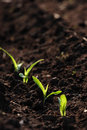 Growing Corn Royalty Free Stock Images - 7442519