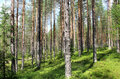 Beautiful Forests Of Finland Stock Photo - 74460970