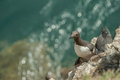 Guillemot On A Cliff Ledge. Royalty Free Stock Photography - 74521227