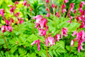 Wild Bleeding-heart Flower (Dicentra Eximia) Royalty Free Stock Photography - 74566967