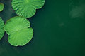 Peaceful And Calm Concept . Composition Of Green Lotus Leaves In Royalty Free Stock Image - 74568216