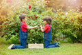 Two Sweet Boys, Gathering Red Currants From Their Home Garden Stock Images - 74595774