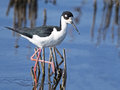 Black-necked Stilt Stock Photo - 74604550