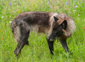 Grey Wolf (Canis Lupus) Stands Looking Left Royalty Free Stock Photo - 74606105