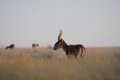 Wild Saiga Antelopes Early Morning In Steppe Stock Image - 74616141