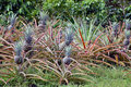 A Row Of Pineapples Growing In A Plantation Stock Images - 74633174
