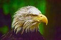 Head Of American Eagle Stock Images - 74649334