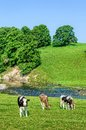 Cattle In Feild Next To River Bela In Cumbria, England Stock Image - 74650821