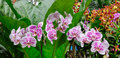 Many Kind Of Orchid Flowers At The Botanic Gardens In Singapore Royalty Free Stock Photography - 74706287