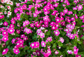 Lots Of Periwinkles, Top View Stock Images - 74785884