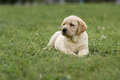 Cute Yellow Puppy Labrador Retriever  On Background Of Green Grass Stock Photo - 74819570