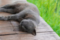 Sleeping Korat Cat Royalty Free Stock Image - 74825156