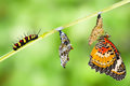 Leopard Lacewing Butterfly Life Cycle Royalty Free Stock Images - 74892589