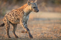 Hyena Stock Photo - 74894410