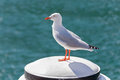 Silver Gull Seabird Standing On White Wooden Pole At Sydney Harb Stock Image - 74940291
