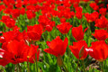 Red Tulips Stock Images - 750854