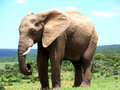 African Elephant Royalty Free Stock Photography - 7505057