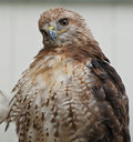 Red-tailed Hawk Stock Image - 7506391