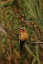 White-fronted Bee-eater Royalty Free Stock Images - 7515939