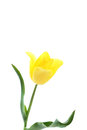 Yellow Tulip Royalty Free Stock Image - 75100666