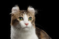 Closeup Portrait Of American Curl Cat On Black Isolated Background Royalty Free Stock Photo - 75121245