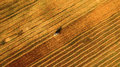 Harvester Working In Field And Mows Wheat. Ukraine. Aerial View. Stock Photo - 75121930