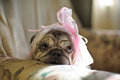 Pug Dog With A Pink Bow On Her Head Stock Photography - 75142492