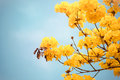 Yellow Tabebuia Flower Blossom Stock Image - 75167551