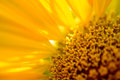 Close-up Of Beautiful Bright Sunflower. Summer Flower Background. Stock Image - 75201851